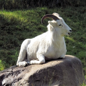 pixabay-big-horn-sheep-518037_1280